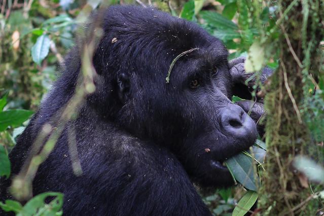 No monkeying around with an 800-pound gorilla...