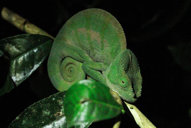 Chameleon | Madagascar