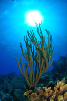 Silhoutte of soft Coral, Grand Cayman, Cayman Islands