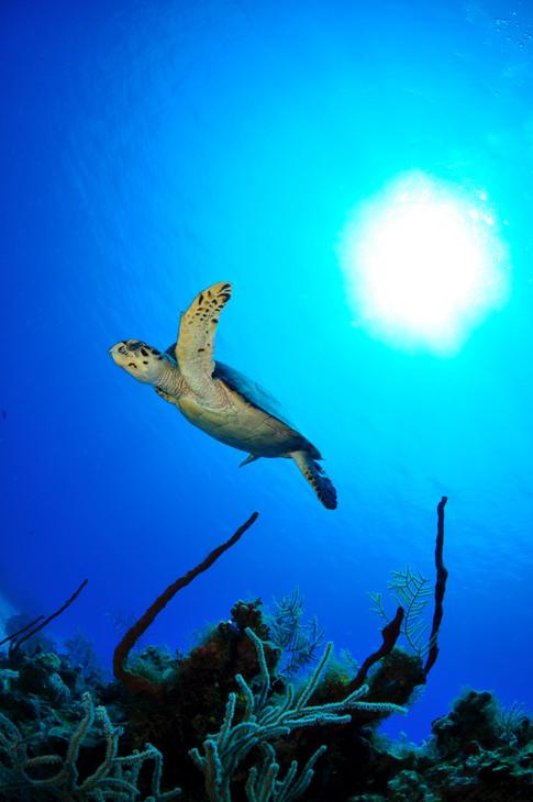 Hawksbill Turtle, Grand Cayman