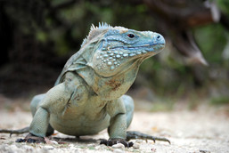 Rare Blue Iguana, also known as Grand Cayman Iguana (Cyclura lewisi), shot in the wild on the island of Grand Cayman