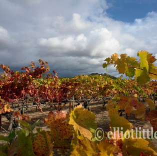 Late Afternoon Vvines