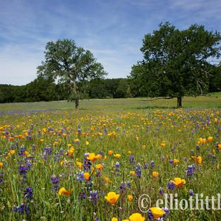 Poppies Lupine Oaks