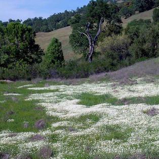 Meadow Foam
