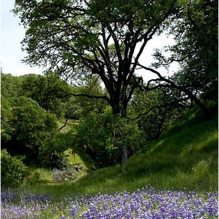 Lupine Oak