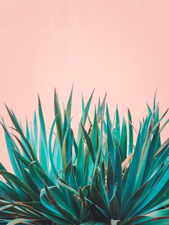 plants-on-pink-concept-canary-plant-on-p