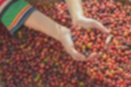 woman coffee farmer is harvesting coffee