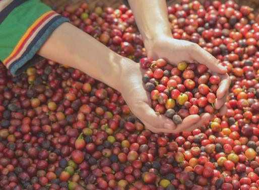 コーヒ豆の精製方法ってなに?