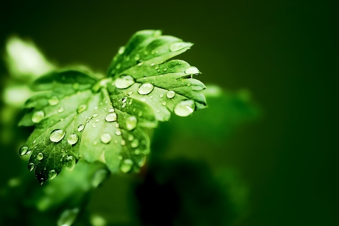 Rain_Drops_on_leaves_by_revolution_man.jpg