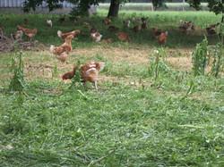 poulets 001
