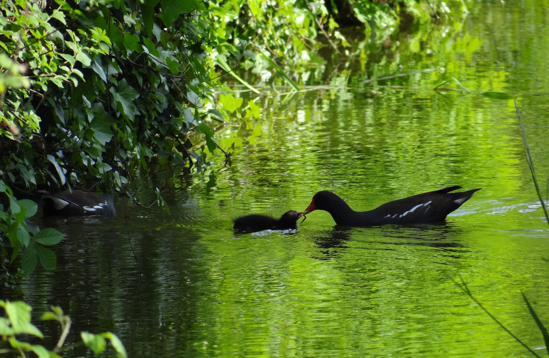 Gallinule poule d'eau_mini