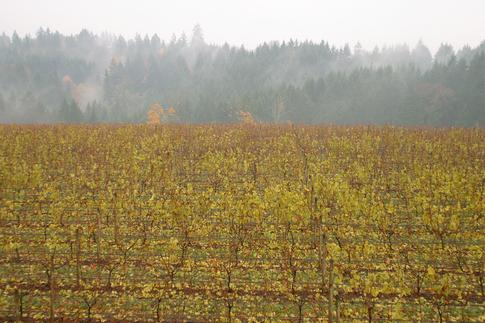 vineyard.TIF