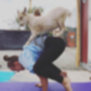 Downward facing goat! Goat Yoga every Sa