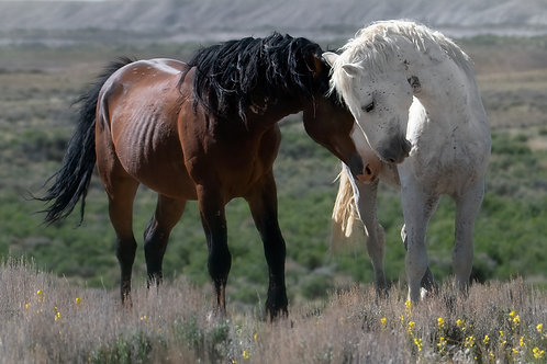 Stallion love full color