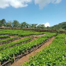 Pre nursed coffee plants.