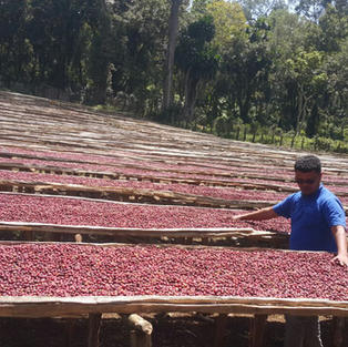 Sun drying coffee beans.