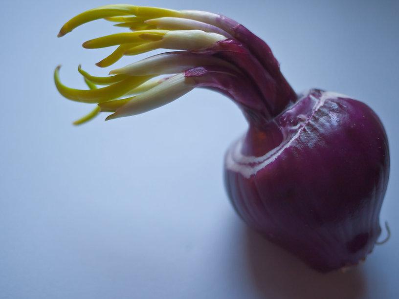 Onion 1.jpg