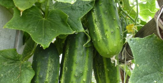 Cucumber 'Pickling'