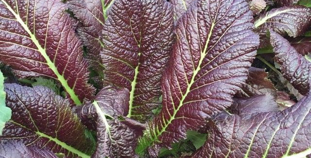 Mustard Greens 'Purple'