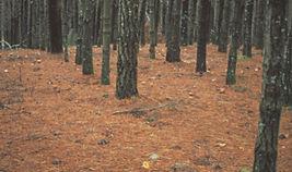lactarius_plantation.jpg