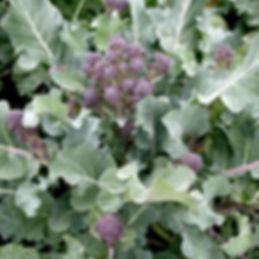 purplebroccoli.jpg