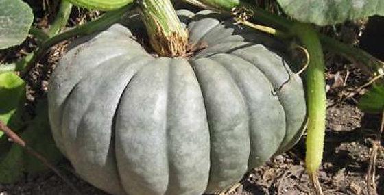 Pumpkin 'Southern Blue'