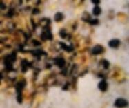 onion-seeds1.jpg