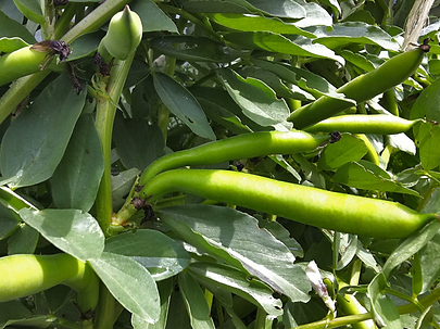 broad_beans.png