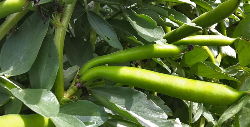 Broad Beans 'Otago Giant'
