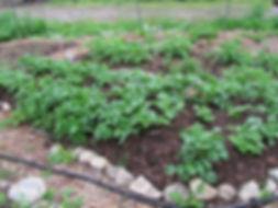 potatoesgarden.jpg