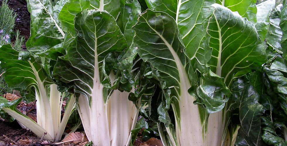 Silverbeet 'Winter Hardy'