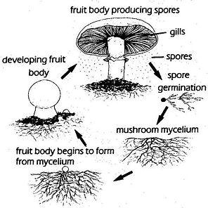 Mushroom-life-cycle_large.jpg