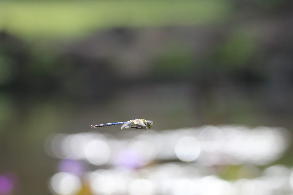 dragonfly, maui hawaii