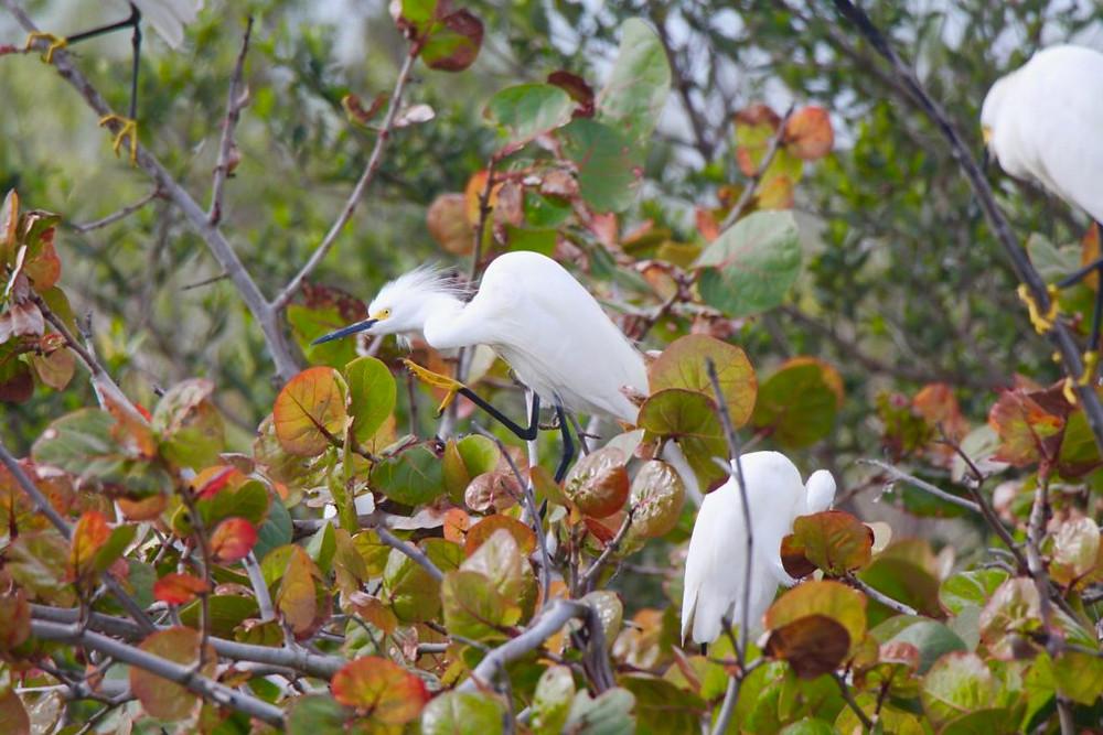 snowy egret,canaveral national seashore, titusville fl
