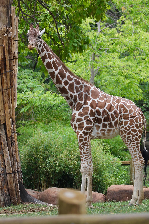 St Louis Zoo, Zoo St Louis, giraffes