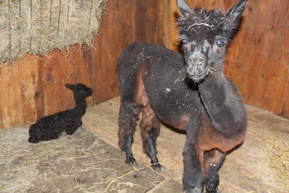 Hillcrest Farm, Hillcrest Alpaca Farm, Alpacas, Alpaca, Upstate NY Alpacas, Sauquoit NY