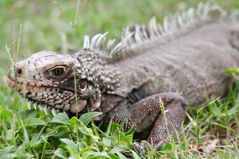 Iguana St Thomas