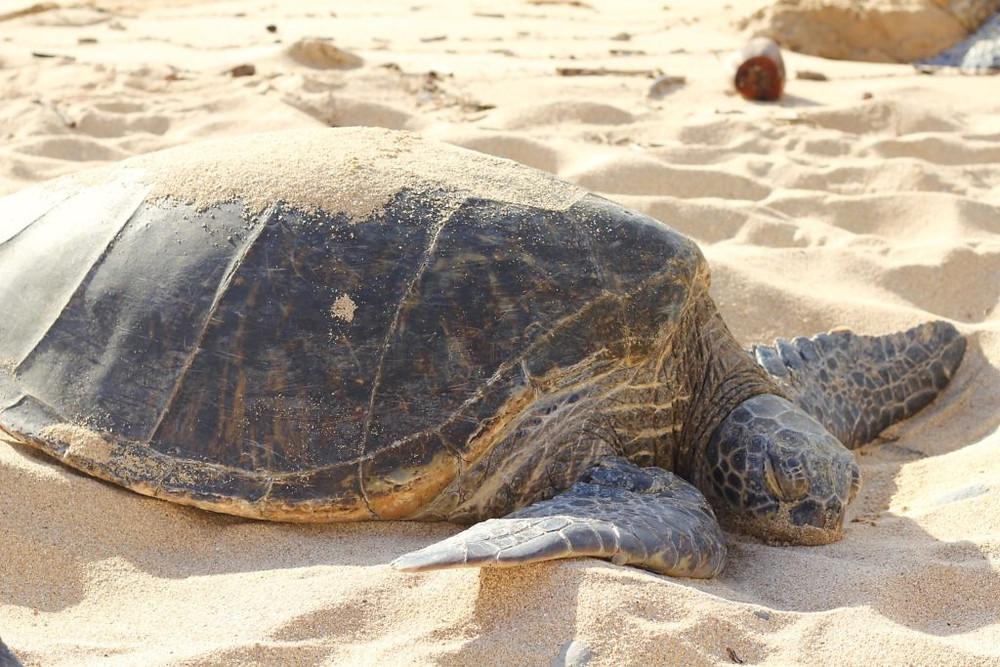 Turtle Beach at Ho'okipa Beach Park Maui, Maui, Maui Hawaii