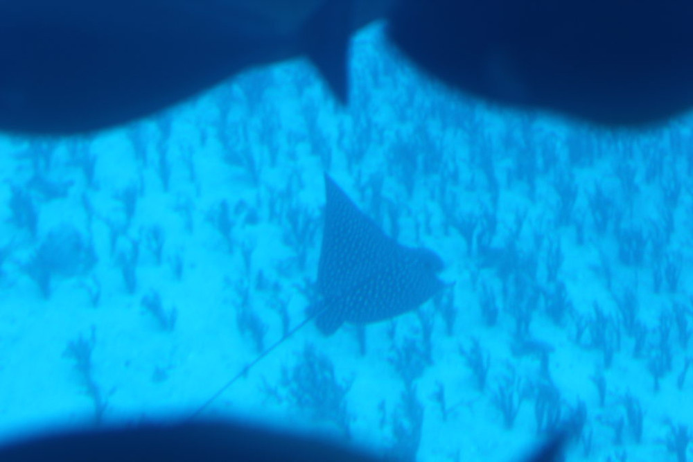 Spotted Eagle Ray,Maui, Maui Hawaii, Lahaina Maui, Maui submarine