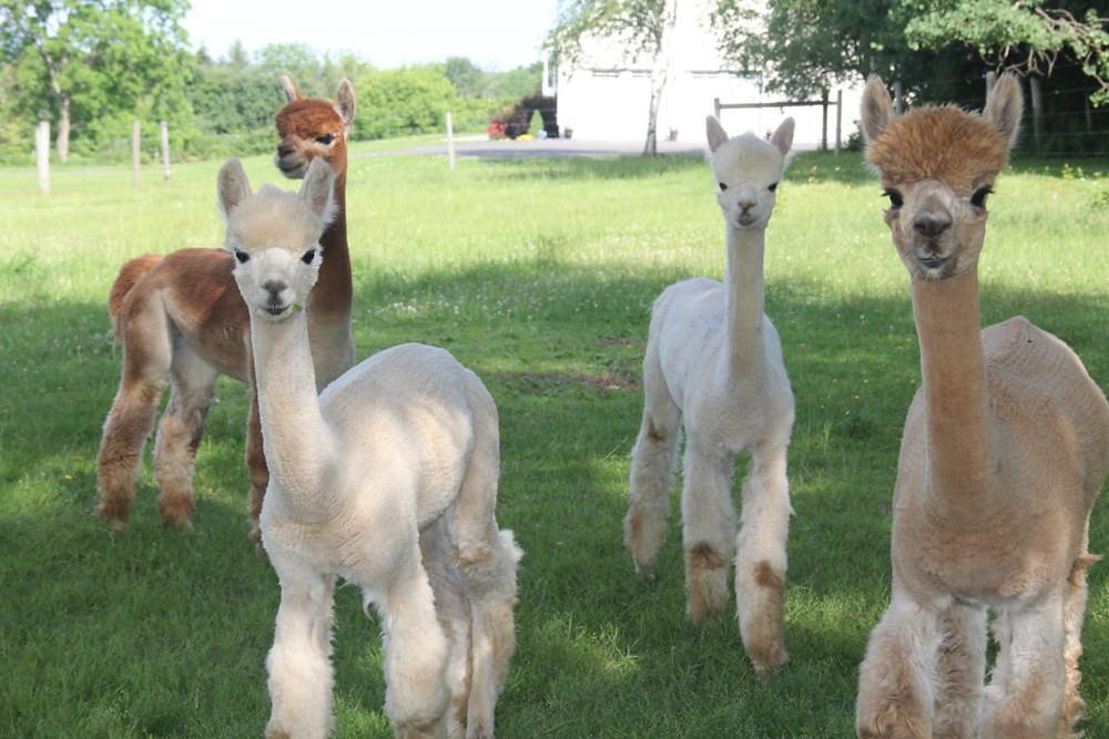 Hillcrest Farm, Hillcrest Alpaca Farm, Alpaca, Alpacas, Sauquoit NY,