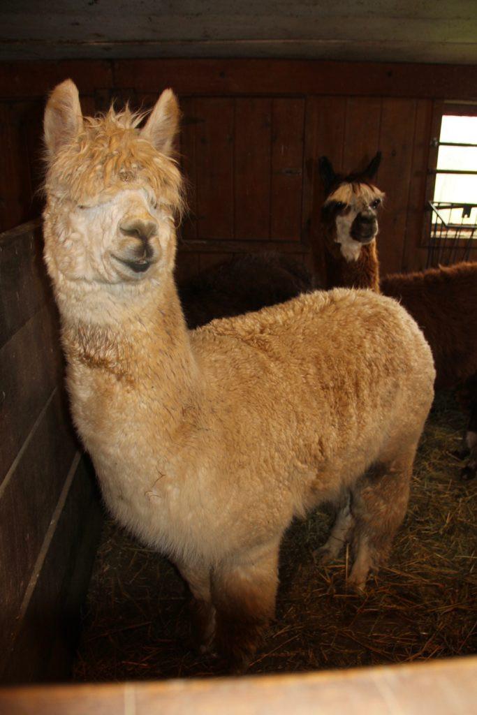 Hillcrest Farm, Hillcrest Alpaca Farm, Sauquoit NY, Upstate NY, Upstate NY Alpacas, Alpacas, Alpaca