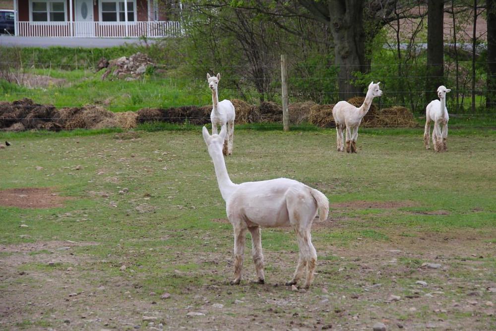 Hillcrest Alpaca Farm, Hillcrest Farm, Sauquoit NY, Upstate NY, Alpacas, Alpaca