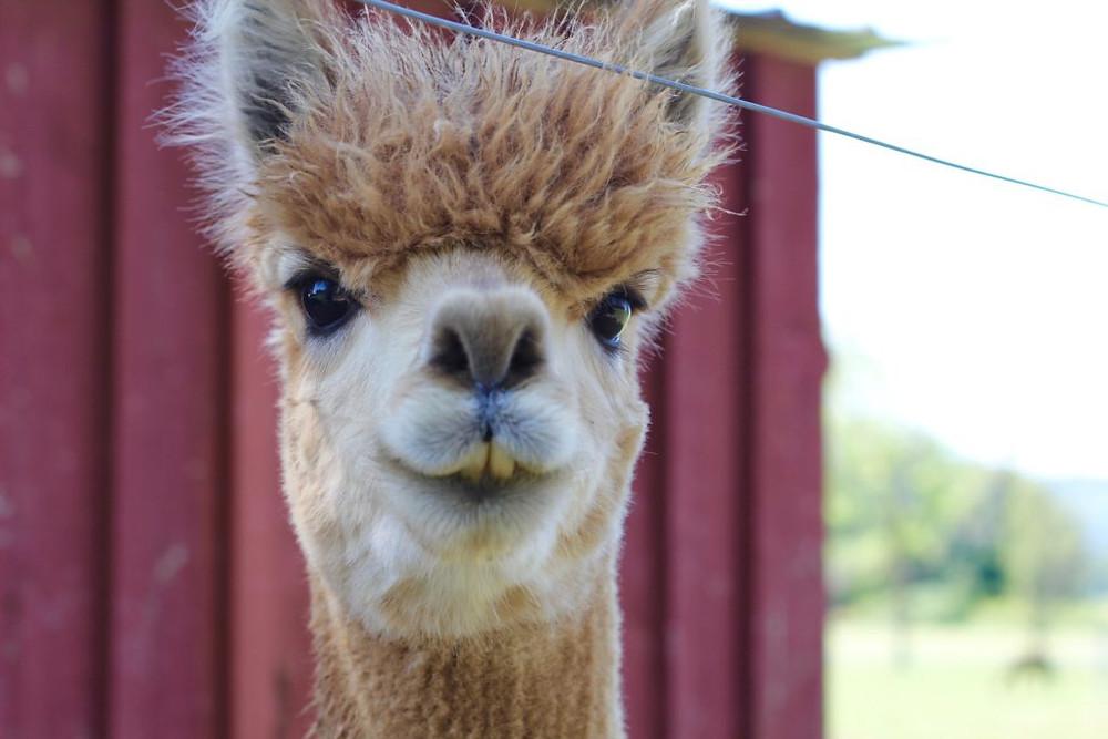 Hillcrest Farm, Hillcrest Alpaca Farm, Sauquoit NY, Upstate NY, Upstate NY Alpacas, Alpaca Farms