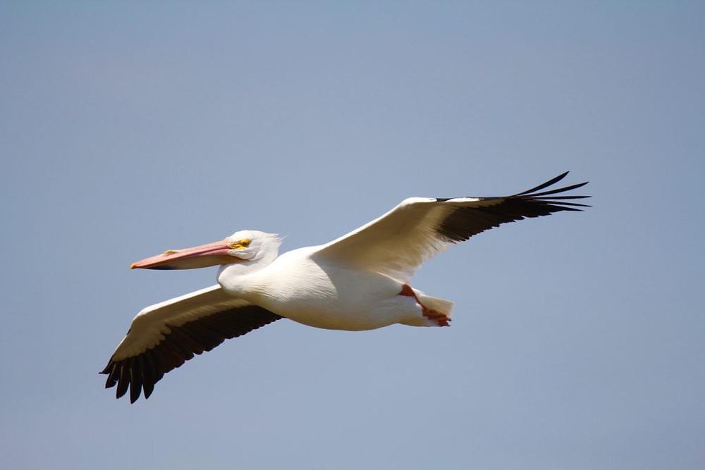 American White Pelican,Canaveral National Seashore, Titusville FL,