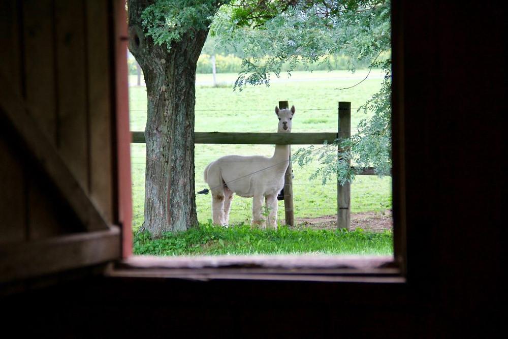 Hillcrest Farm, Hillcrest Alpaca Farm, Sauquoit NY, Upstate NY, Upstate NY Alpaca, Alpacas, Alpaca