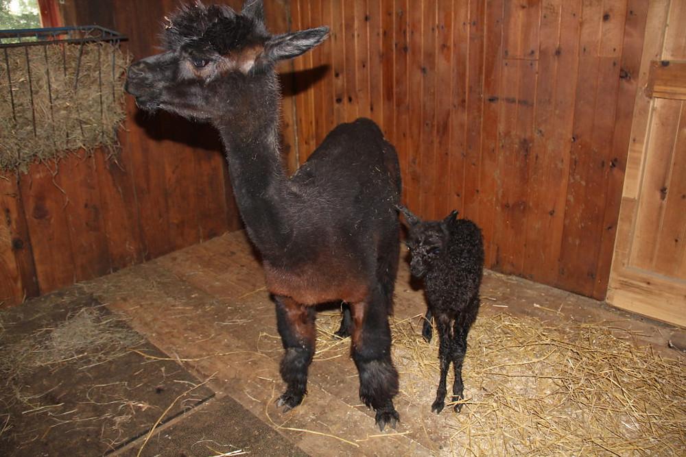 Hillcrest Alpaca Farm, Sauquoit NY Alpacas, Upstate NY Alpacas, Alpacas, Alpaca