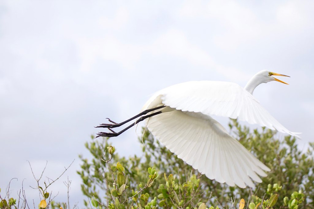 Great Egret,Canaveral National Seashore,Titusville FL