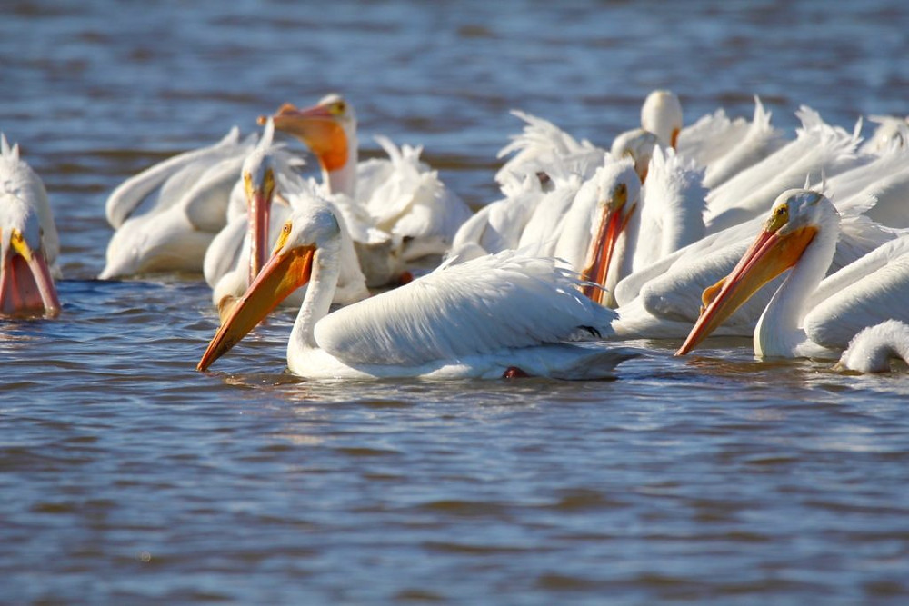 American White Pelican,canaveral national seashore,titusville fl