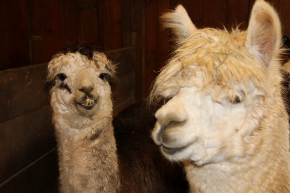 Hillcrest Farm, Hillcrest Alpaca Farm, Upstate NY, Upstate NY Alpacas, Sauquoit NY, alpacas, alpaca