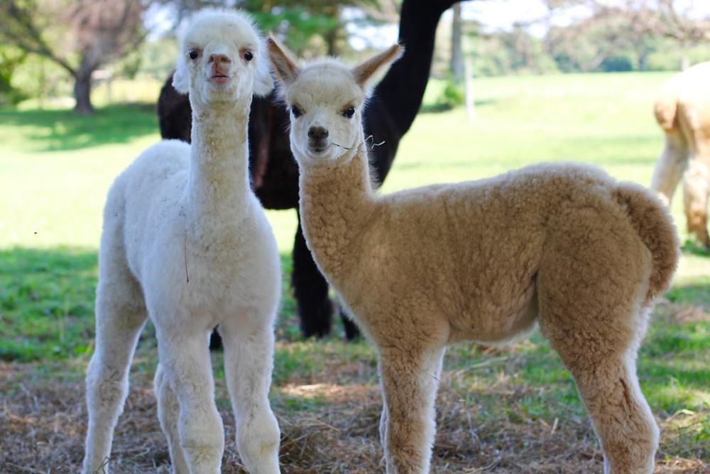 Hillcrest Farm, Hillcrest Alpaca Farm, Upstate NY, Upstate NY Alpacas, alpacas, alpaca, Alpaca Farm